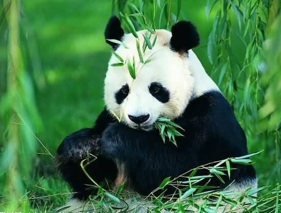 [成都出发]熊猫基地、三星堆一日游